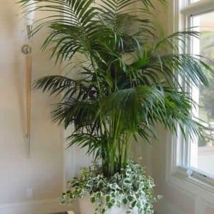 Cây Cau Hawai thích hợp cho không gian chật hẹp