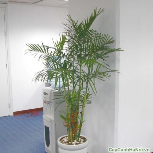 Cây Cau Hawai thích hợp làm cây cảnh văn phòng