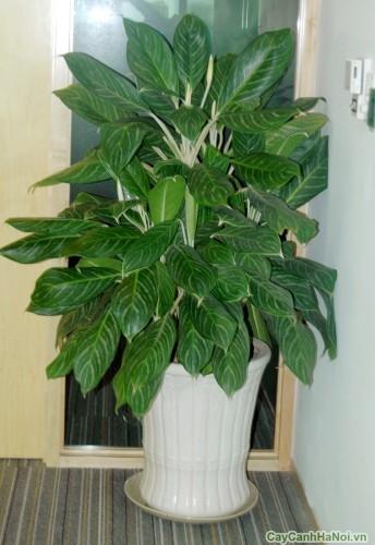 Cây Bạch Mã Hoàng Tử được đặt trong văn phòng