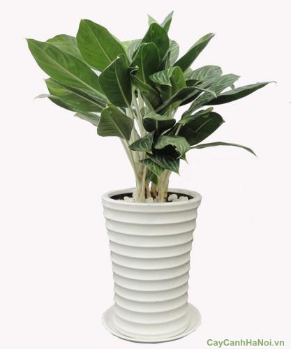 Cây Bạch Mã Hoàng Tử thích nghi với môi trường bóng râm hơn