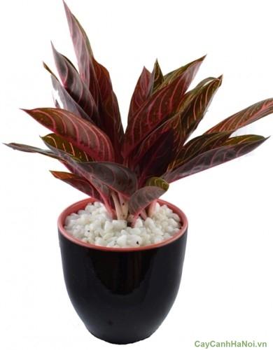 Cây Bao Thanh Thiên với lá màu đỏ tía