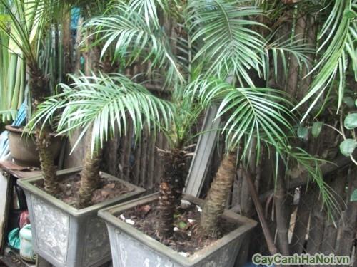 Cây Chà Là được trồng trong vườn