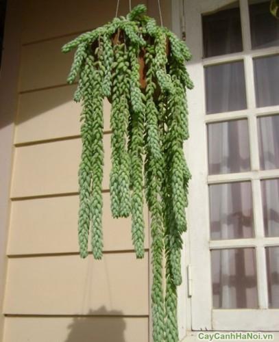 Trang trí tiểu cảnh với cây Chuỗi Ngọc Treo
