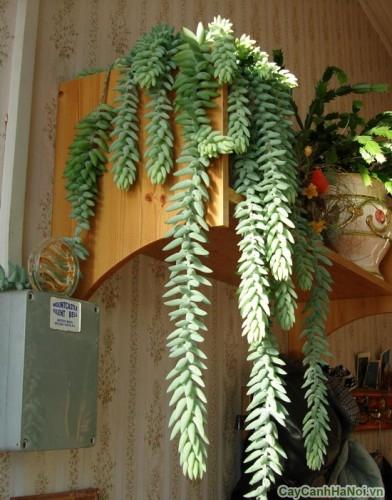 Cây Chuỗi Ngọc Treo dùng trang trí trong nhà