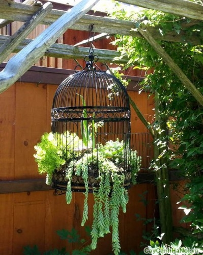 Tô điểm sân vườn với cây Chuỗi Ngọc Treo