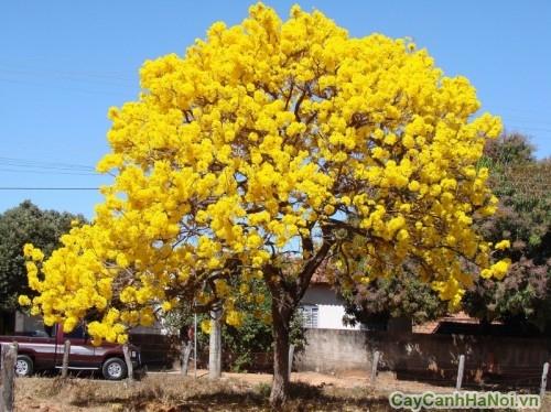 Vàng rực khoảng trời với cây Chuông Vàng