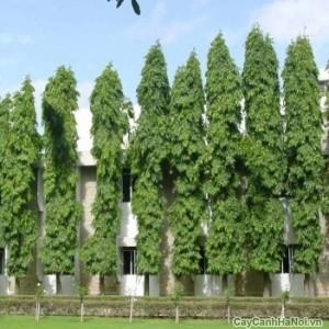 Hàng rào cây Hoàng Nam xung quanh biệt thự