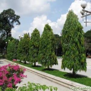 Cây Hoàng Nam tạo không gian xanh cho đô thị