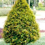 cây Hộng Lộc