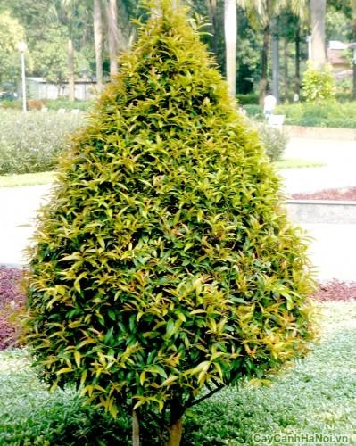 Cây Hồng Lọc được trồng tại công viên