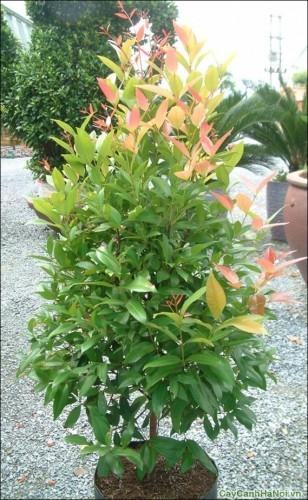 Có khả năng chịu hạn tốt, cây Hồng Lộc được trồng ngoài trời