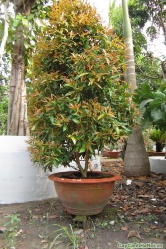 Cây Hồng Lộc thường được trồng trong chậu