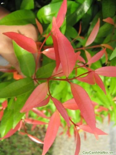 Sắc màu tươi đẹp của cây Hồng Lộc