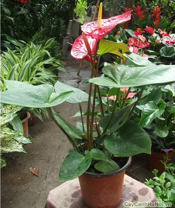 Cây xanh gia đình này rất dễ trồng và sinh trưởng nhanh