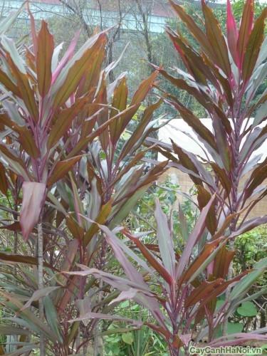 Cây Huyết dụ thường được trồng ngoài trời