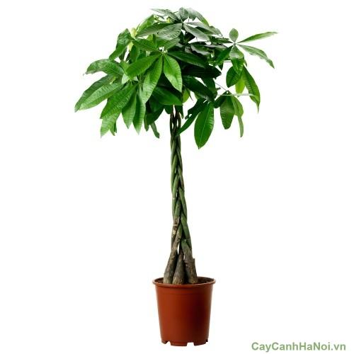 """Cây Kim Ngân xoắn hay còn gọi là cây """"bím tóc"""""""