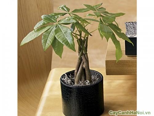 Cây Kim Ngân xoắn có thể được coi như một bonsai để bàn