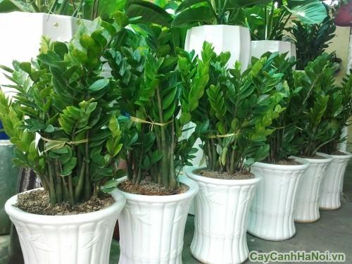 Vườn trồng cây Kim Tiền