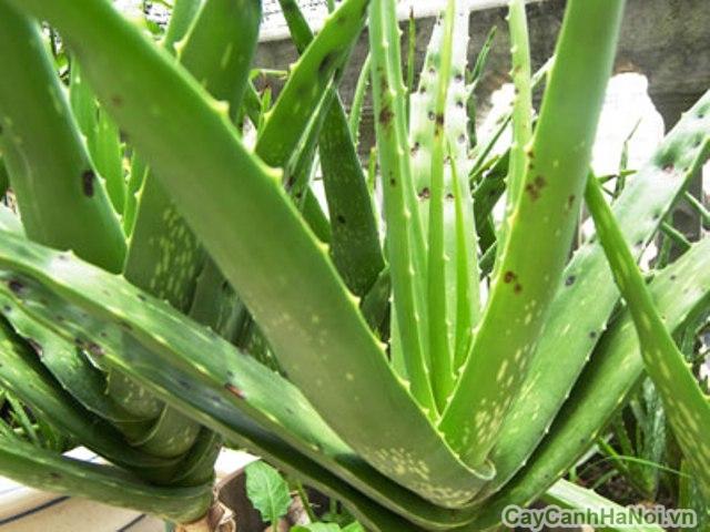 Cây lô hội cũng là một loại cây trong nhà có nhiều công dụng