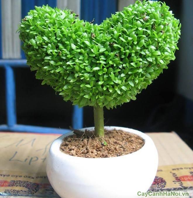 cây may mắn hình trái tim được nhiều bạn trẻ lựa chọn