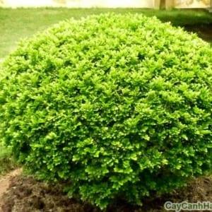 Cây Ngâu Tròn dùng làm cây đường viền