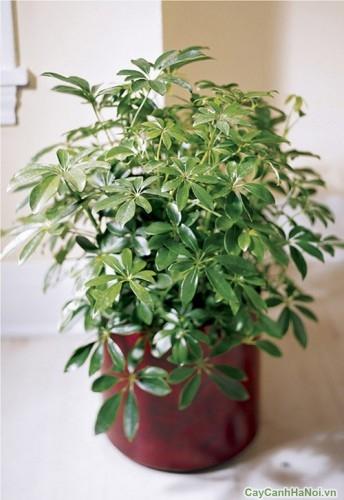 Thường dùng cây Ngũ Gia Bì trong trang trí cắm hoa