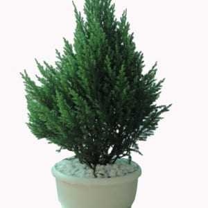 Cây sơn Tùng được tạo dáng bonsai
