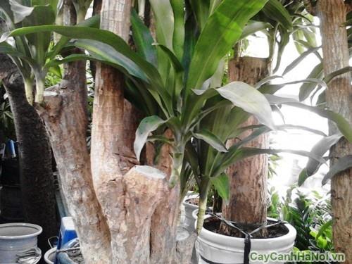 Cây Thiết Mộc Lan gốc nhiều nhánh, bề thế