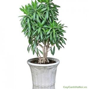 Cây Trúc Bách Hợp được trồng trang trí
