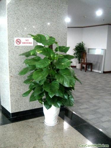 Cây Vạn Niên Thanh được đặt ở sảnh công ty