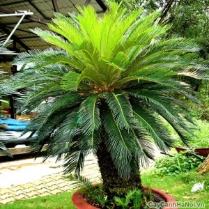 Cây Vạn Tuế là cây ưa sáng