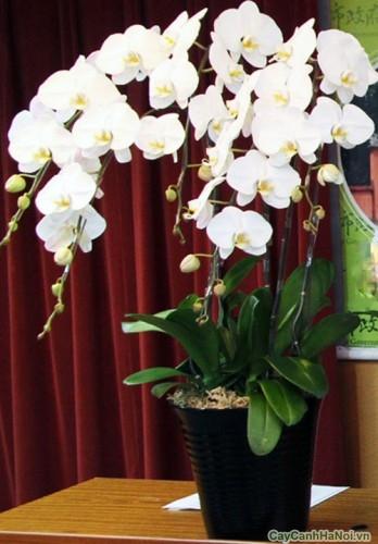 Trang trí văn phòng, tiểu cảnh với hoa Lan Hồ Điệp