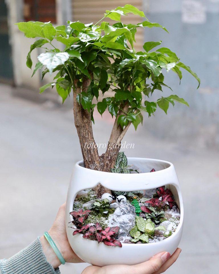 Cây Hạnh Phúc Tên khoa học : Radermachera Sinica Tên Tiếng Anh: China Doll Plant,