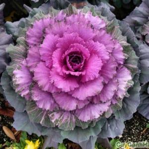Cây bắp cải cảnh nhìn như một bông hoa tím