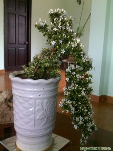 Cây Bạch Tuyết Mai bonsai trang trí nội thất