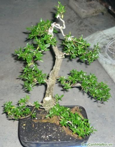 Mẫu cây Bạch Tuyết Mai