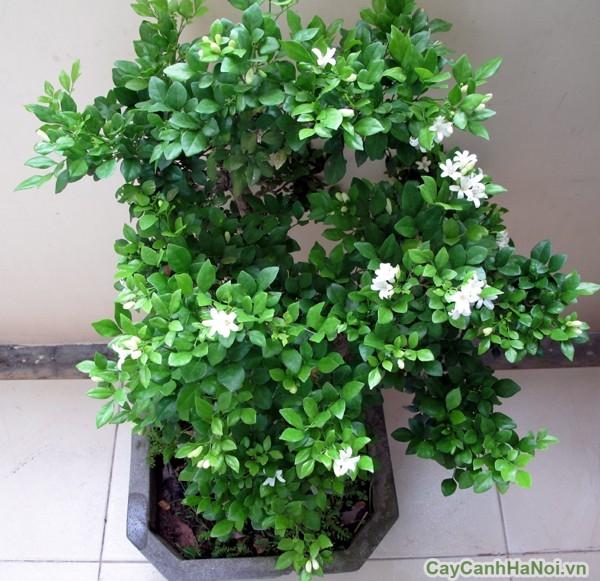 cây hoa nguyệt quế 1
