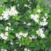 cây hoa nguyệt quế 2