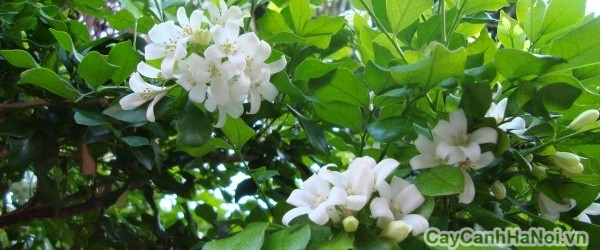 cây hoa nguyệt quế 3