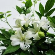 cây hoa nguyệt quế 4