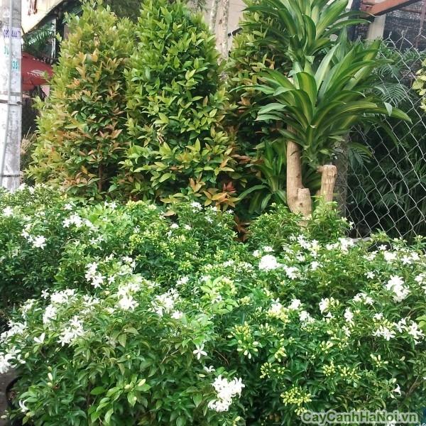 cây hoa nguyệt quế 5