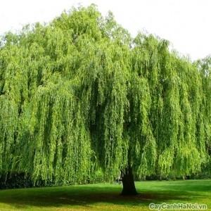 cây liễu1
