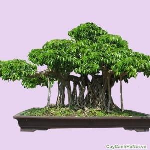 cây sanh 5
