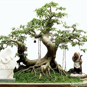 cây sanh3