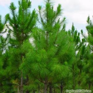 cây thông 1