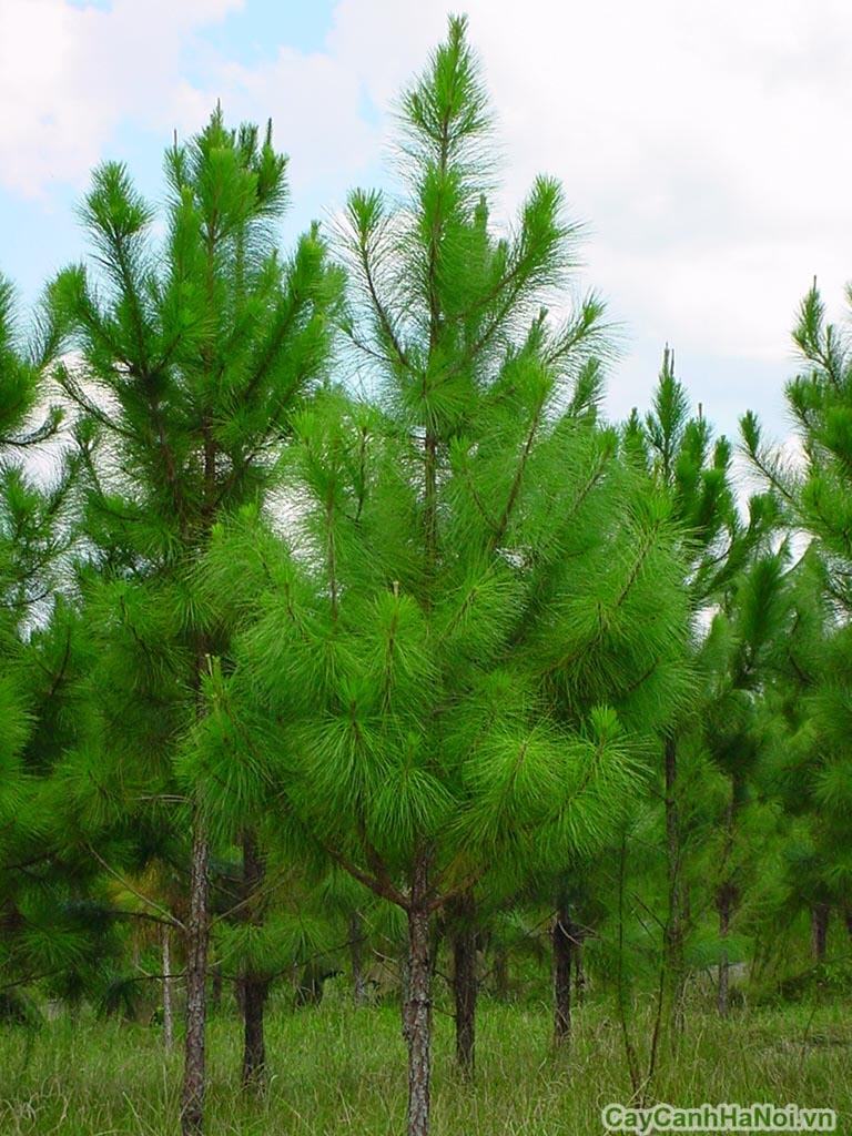Image result for cây thông đẹp trồng tự nhiên
