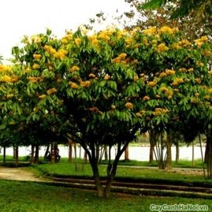 cây vàng anh