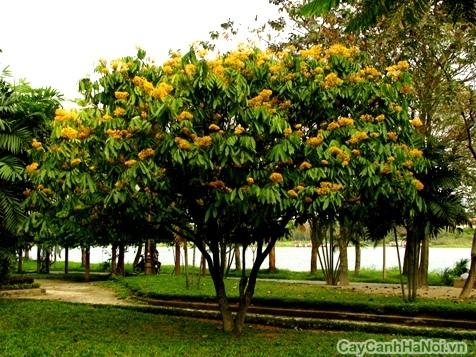 cây vàng anh 1