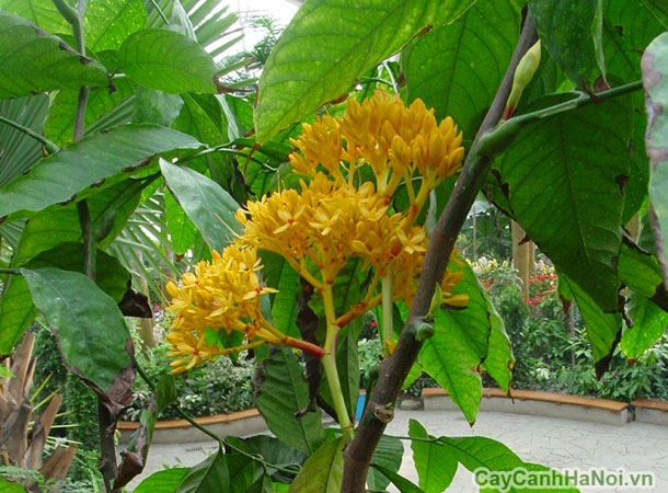 cây vàng anh 4