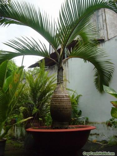Cau Sâm Banh trong vườn nhà